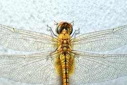 Close up of a dragonfly, selective focus.