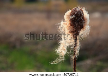 Close up of a dry cattail propagating its seeds