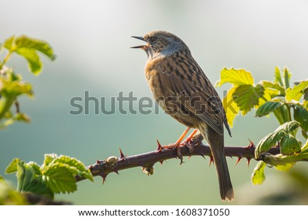 Photo of  Close-up of a Dunnock, Prunella modularis, bird in a tree display and singing a early morning song during Springtime to attract a female.