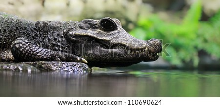 Close-up of a Dwarf crocodile (Osteolaemus tetraspis)