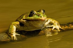 Close-up of a edible frog, pelophylax esculentus, sneaking out of water in summer. Cute green amphibian swimming in sunshine. Animal coming out of lake from front view