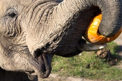 Close up of a elephant eating a pumpkin ; Elephant ready for Halloween