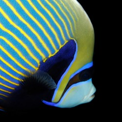 Close-up of a Emperor Angelfish (Pomacanthus imperator). Tofo, Mozambique