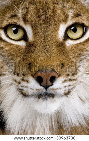 Close-up of a Eurasian Lynx's head - Lynx lynx (5 years old) in front of a white background