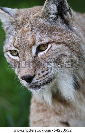Close up of a European Lynx in the grass - stock photo
