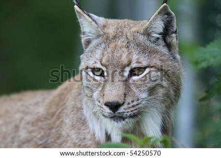 Close up of a European Lynx in the grass