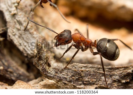 Close-up of a European red wood ant (Formica rufa)