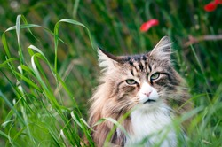 close-up of a face of a norwegian forest cat in the lall grass. red flowers behind him