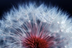 Close-up of a faded dandelion. Seeds of a dandelion in blue and red