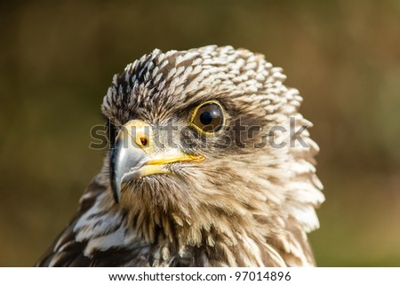 Close up of a Falcon showing its head, eyes and beack