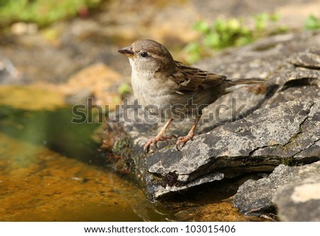 Close up of a female House Sparrow searching for food for her young