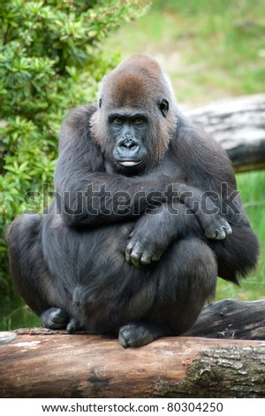 close-up of a female silverback gorilla