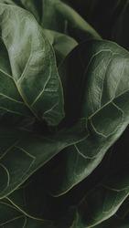 Close up of a Fiddle-leaf fig plant mobile wallpaper