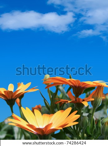 Close up of a field of Gerbera Daisies on a clear day