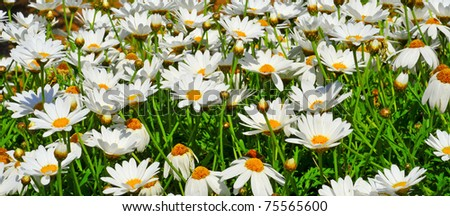 close up of a field of wild daises - stock photo