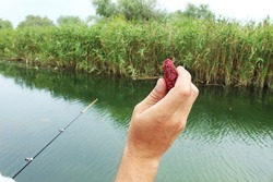 Close-up of a fisherman's male hand throws a piece of fish bait into the water. Fruit bait with plum flavor for carp, crucian carp