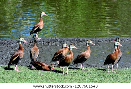 Close up of a flock of black bellied whistling ducks (Dendrocygna autumnalis), standing near a pond.