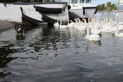 Close-up of a flock of swans at the pier, a dog comes into his ode and drinks