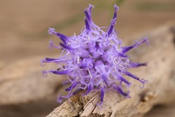 Close-up of a flower of the very rare natural medicinal plant devil's claw