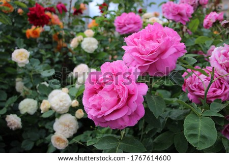 Close-up of a flowerbed of pink roses. A flowerbed fragment. Flowers and the City.  Flowerbeds in city parks