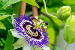 Close Up of a flowering Passiflora Caerulea. This plant is also known as passion flowers or passion vines, and this particular species is knows as the blue passionflower or blueccrown passionflower.