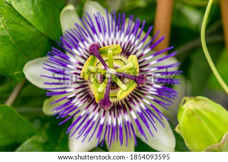 Close Up of a flowering Passiflora Caerulea. This plant is also known as passion flowers or passion vines, and this particular species is knows as the blue passionflower or bluecrown passionflower.