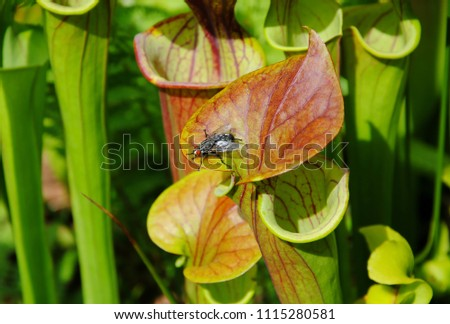 Close up of a fly on the lid (operculum), the uppermost part of the leaf of a yellow pitcher plant (Sarracenia flava), an insect-eating or carnivorous plant Stockfoto ©