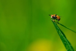 close-up of a fly sitting on green grass. Common fly sits on a leaf of grass, side view, macro photography. European view of Sarcophaga carnaria on bright green blurred background, place for text