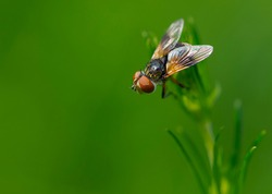 close-up of a fly sitting on green grass. Common fly sits on a leaf of grass top view, macro photography. European view of Sarcophaga carnaria on bright green background with place for text