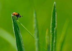 close-up of a fly sitting on green grass. fly sits on a leaf of grass, colorful insect, macro photography. European view of Sarcophaga carnaria on bright green blurred background, place for text