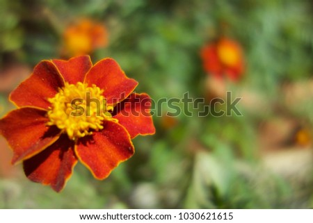 Close-up of a fully blooming marigold growing on the ground with green leafy background