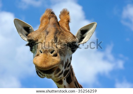 close-up of a funny giraffe