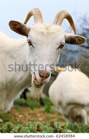 Close up of a funny white goat with a smirk on summer meadow