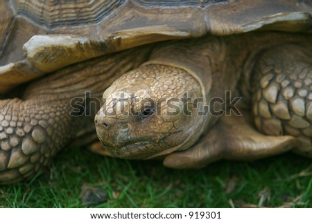 Close up of a Galapagos giant tortoise
