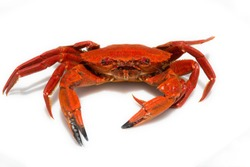 close-up of a Galician velvet crab on white background