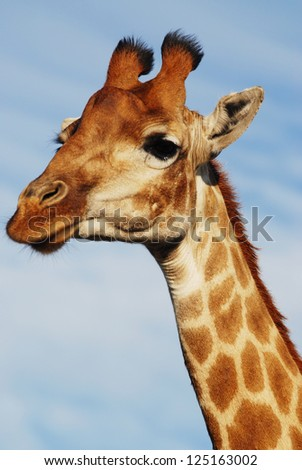 Close up of a Giraffe - stock photo