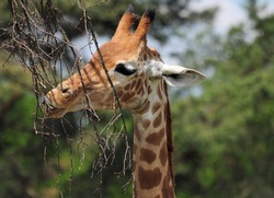 Close Up Of A Giraffe Eating Branches From A Tree On A Sunny Summer Day