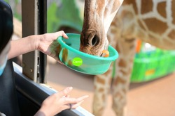 Close-up of a giraffe extending its mouth to pick up carrots (food) from tourists in the Golden Bus Zoo.It is a mammal of the Giraffidae family. It has a long neck and is the tallest terrestrial world