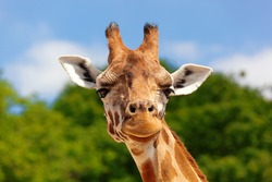 Close-up of a giraffe in front of some green trees and blue sky