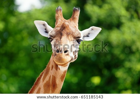 Close-up of a giraffe in front of some green trees, looking at the camera as if to say You looking at me? With space for text.