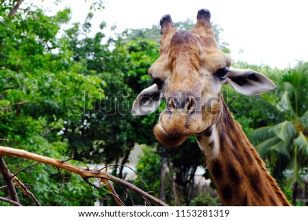 Close-up of a giraffe in front of some green trees looking at the camera with space for text., Gorgeous giraffe face with blurred trees in the background with a bokeh effect., Giraffe is chewing. #1153281319