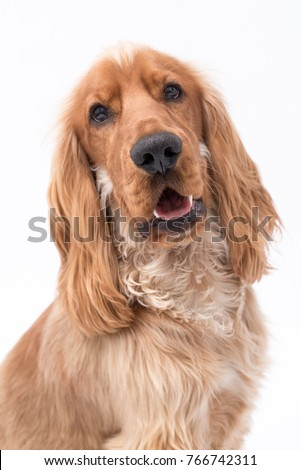 Close up of a golden Cocker Spaniel dog isolated on a white background #766742311