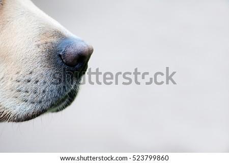 Close up of a golden labrador's nose