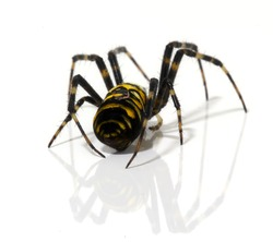 Close up of a golden orb spider