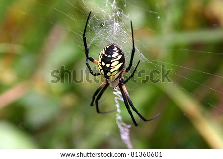Close up of a golden orb spider in its web