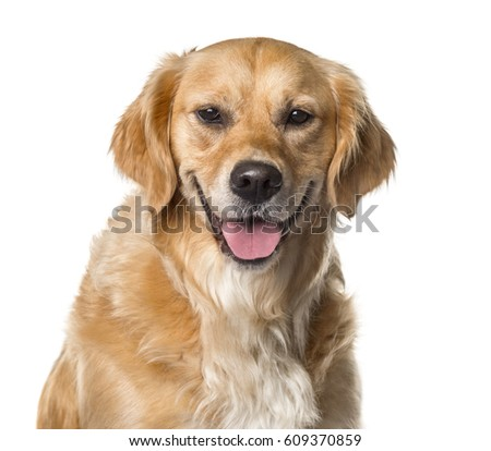 Close-up of a golden Retriever panting , isolated on white #609370859