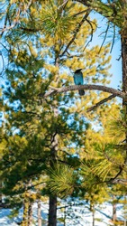 Close up of a gorgeous Steller's Jay bird sitting on a branch located in gorgeous Bryce Canyon, Utah