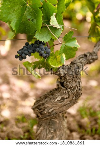 Close up of a grape from Beaune vineyard, Burgundy Foto stock ©