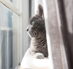 Close up of a Gray Cat Relaxing on Cat Tree by Window