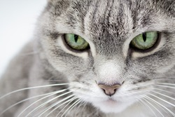 Close up of a gray furry tabby cat with green eyes and a pink nose looking into the frame